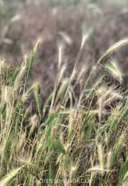 Gefahr durch wildes Getreide am Straßenrand